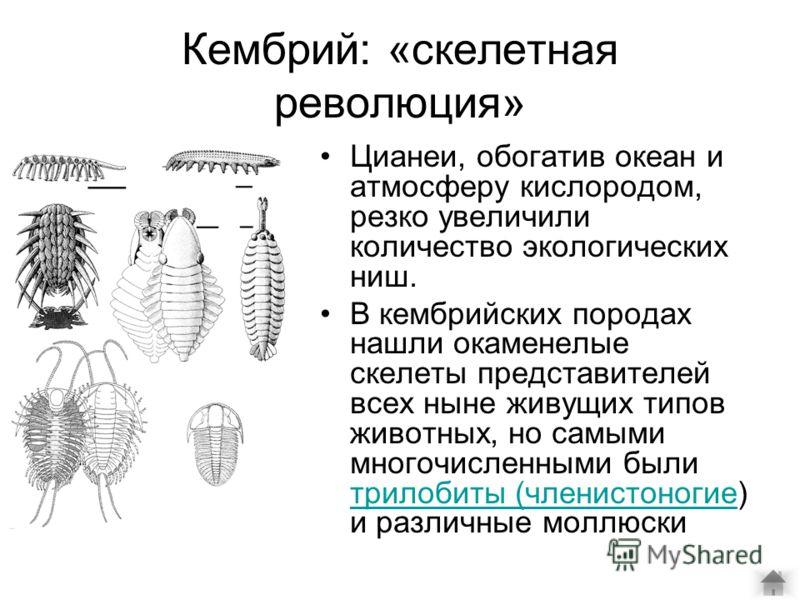 Кембрий: «скелетная революция» Цианеи, обогатив океан и атмосферу кислородом, резко увеличили количество экологических ниш. В кембрийских породах нашли окаменелые скелеты представителей всех ныне живущих типов животных, но самыми многочисленными были