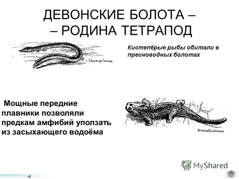 ДЕВОНСКИЕ БОЛОТА – – РОДИНА ТЕТРАПОД Мощные передние плавники позволяли предкам амфибий уползать из засыхающего водоёма Кистепёрые рыбы обитали в пресноводных болотах