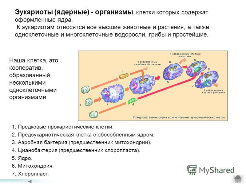 Эукариоты (ядерные) - организмы, клетки которых содержат оформленные ядра. К эукариотам относятся все высшие животные и растения, а также одноклеточные и многоклеточные водоросли, грибы и простейшие. 1. Предковые прокариотические клетки. 2. Предэукар