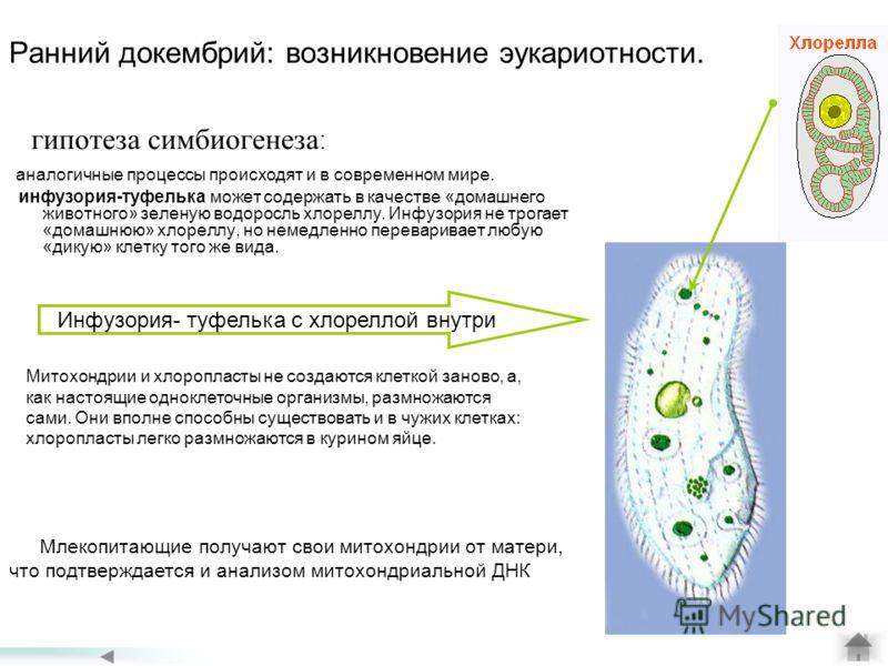Ранний докембрий: возникновение эукариотности. гипотеза симбиогенеза : аналогичные процессы происходят и в современном мире. инфузория-туфелька может содержать в качестве «домашнего животного» зеленую водоросль хлореллу. Инфузория не трогает «домашню