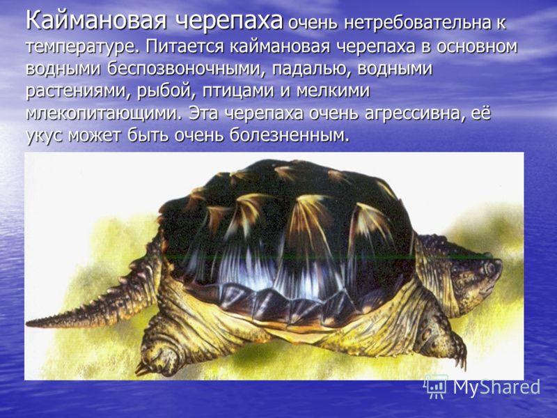 ГАЛАПАГОССКАЯ ЧЕРЕПАХА настоящий гигант: её вес достигает 250 кг – как у гориллы! У одних черепах закругленный панцирь, у других – сплюснутый. Лапы черепах очень похожи на лапы слонов.