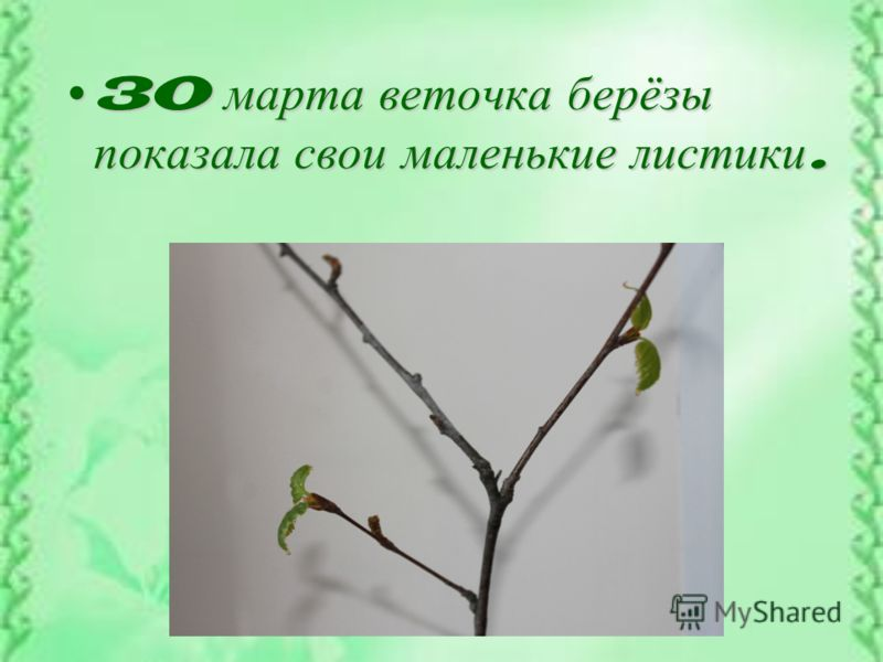 30 марта веточка берёзы показала свои маленькие листики.30 марта веточка берёзы показала свои маленькие листики.
