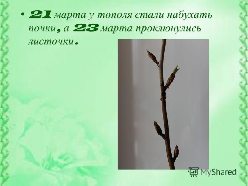 21 марта у тополя стали набухать почки, а 23 марта проклюнулись листочки.21 марта у тополя стали набухать почки, а 23 марта проклюнулись листочки.