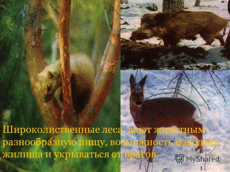 Широколиственные леса дают животным разнообразную пищу, возможность находить жилища и укрываться от врагов.