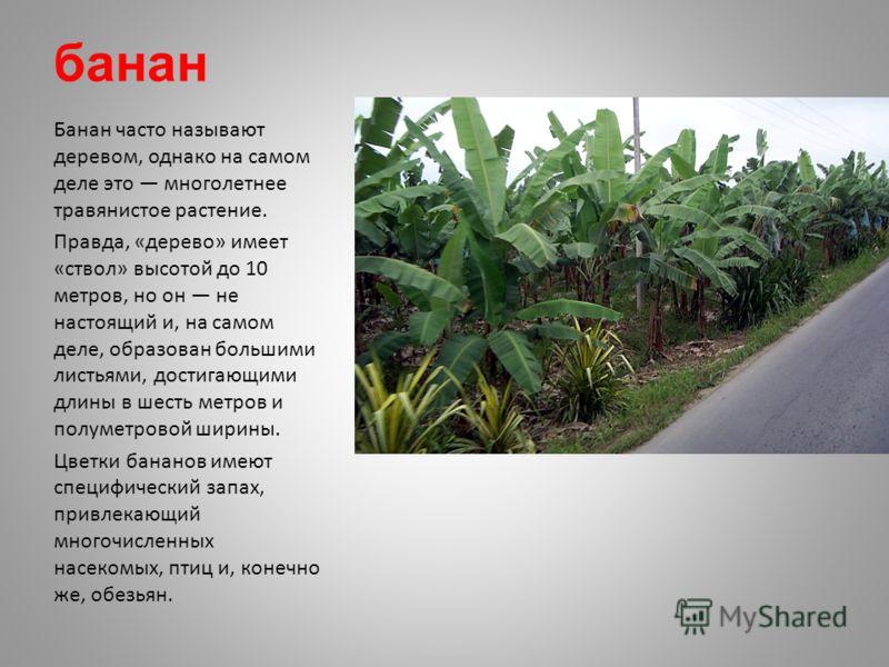 банан Банан часто называют деревом, однако на самом деле это многолетнее травянистое растение. Правда, «дерево» имеет «ствол» высотой до 10 метров, но он не настоящий и, на самом деле, образован большими листьями, достигающими длины в шесть метров и