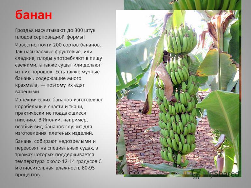 банан Гроздья насчитывают до 300 штук плодов серповидной формы! Известно почти 200 сортов бананов. Так называемые фруктовые, или сладкие, плоды употребляют в пищу свежими, а также сушат или делают из них порошок. Есть также мучные бананы, содержащие