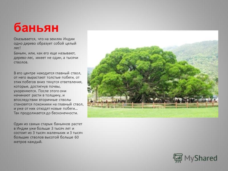 баньян Оказывается, что на землях Индии одно дерево образует собой целый лес! Баньян, или, как его еще называют, дерево-лес, имеет не один, а тысячи стволов. В его центре находится главный ствол, от него вырастают толстые побеги, от этих побегов вниз