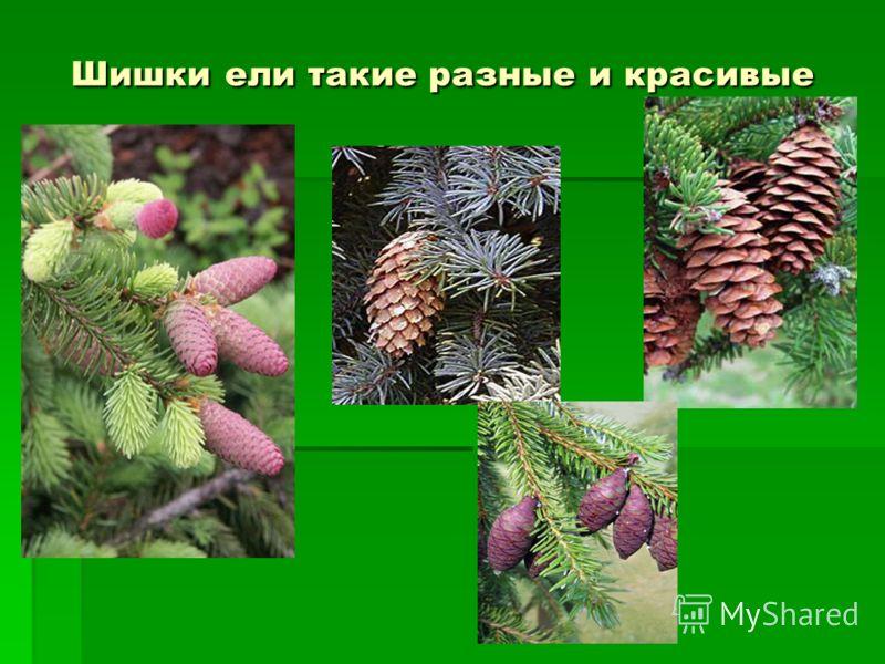 Шишки ели такие разные и красивые Шишки ели такие разные и красивые
