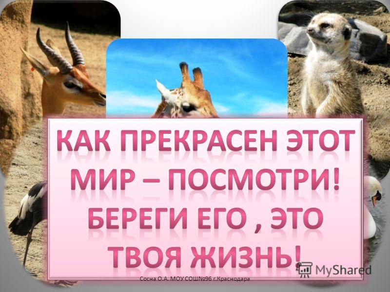 13Сосна О.А. МОУ СОШ96 г.Краснодара