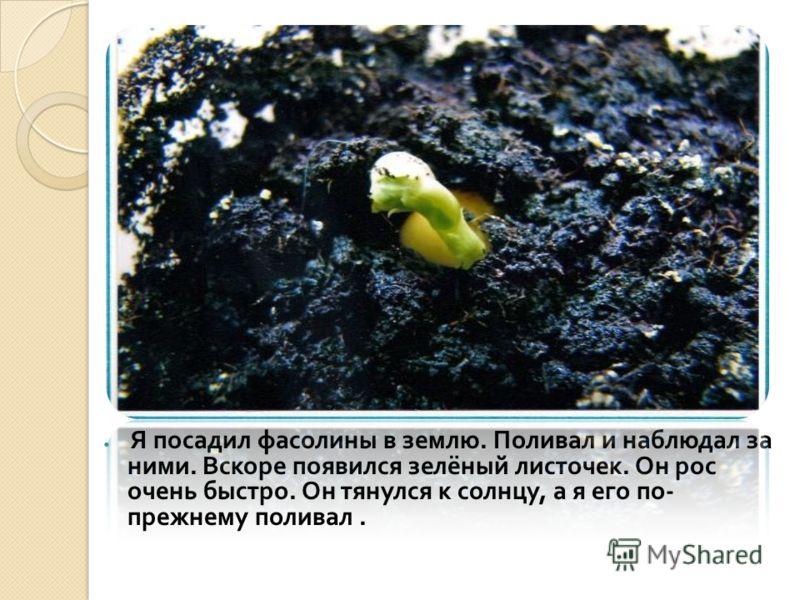 Я посадил фасолины в землю. Поливал и наблюдал за ними. Вскоре появился зелёный листочек. Он рос очень быстро. Он тянулся к солнцу, а я его по - прежнему поливал.