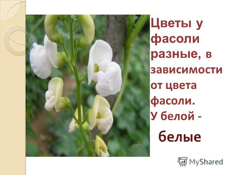 Цветы у фасоли разные, в зависимости от цвета фасоли. У белой - белые