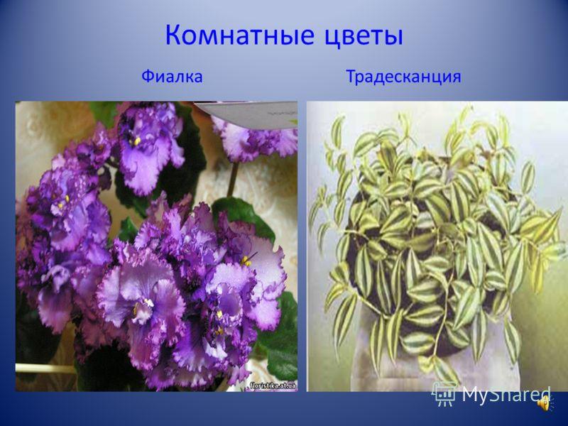 Комнатные цветы Бегония Хлорофитум