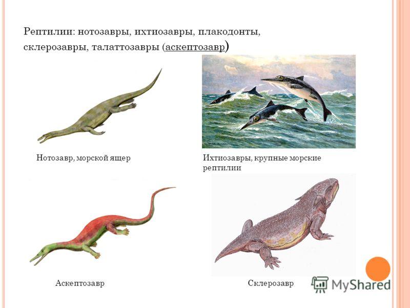 Рептилии: нотозавры, ихтиозавры, плакодонты, склерозавры, талаттозавры (аскептозавр ) Нотозавр, морской ящерИхтиозавры, крупные морские рептилии АскептозаврСклерозавр