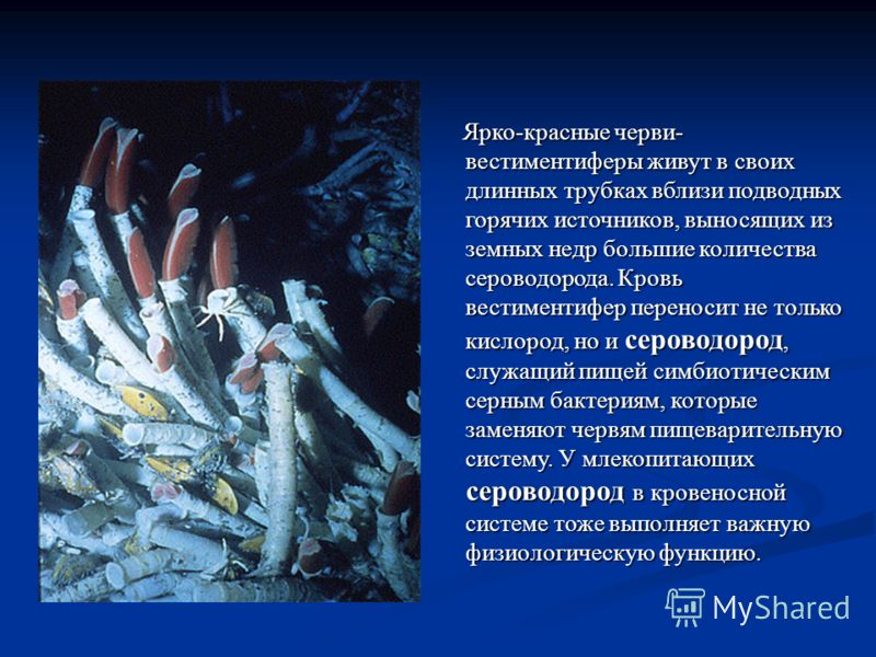 Ярко-красные черви- вестиментиферы живут в своих длинных трубках вблизи подводных горячих источников, выносящих из земных недр большие количества сероводорода. Кровь вестиментифер переносит не только кислород, но и сероводород, служащий пищей симбиот
