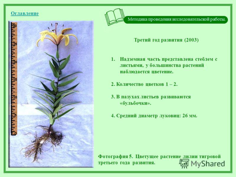 Методика проведения исследовательской работы. Оглавление Третий год развития (2003) 1.Надземная часть представлена стеблем с листьями, у большинства растений наблюдается цветение. 2. Количество цветков 1 – 2. 3. В пазухах листьев развиваются «бульбоч