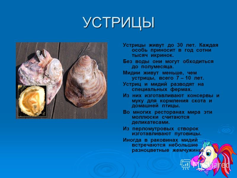 МОЛЛЮСКИ На дне моря живет несколько видов моллюсков: устрицы, мидии, гребешки. Они прикрепляются к грунту прочными нитями. устрицы гребешки