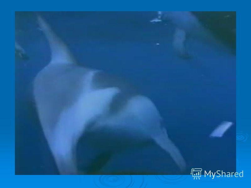 ДЕЛЬФИНЫ В море встречаются три вида дельфинов: афалин, белобочка, азовка. Самым большим из них является афалин (3 – 4 метра в длину). Дышат дельфины легкими, а не жабрами. Пробыть под водой они могут всего около получаса. Живут дельфины 20 – 30 лет,