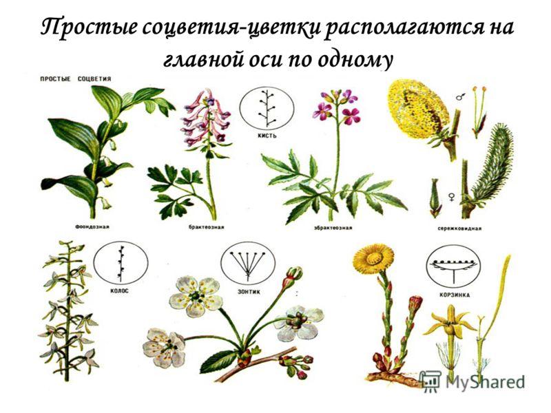 Простые соцветия-цветки располагаются на главной оси по одному