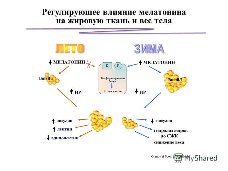 Bmail I Регулирующее влияние мелатонина на жировую ткань и вес тела