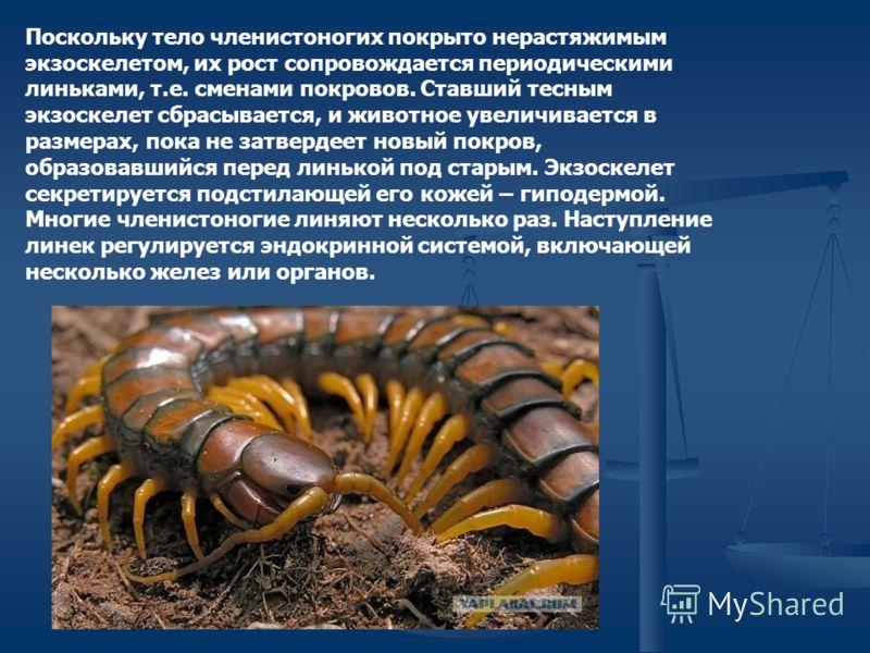 Поскольку тело членистоногих покрыто нерастяжимым экзоскелетом, их рост сопровождается периодическими линьками, т.е. сменами покровов. Ставший тесным экзоскелет сбрасывается, и животное увеличивается в размерах, пока не затвердеет новый покров, образ