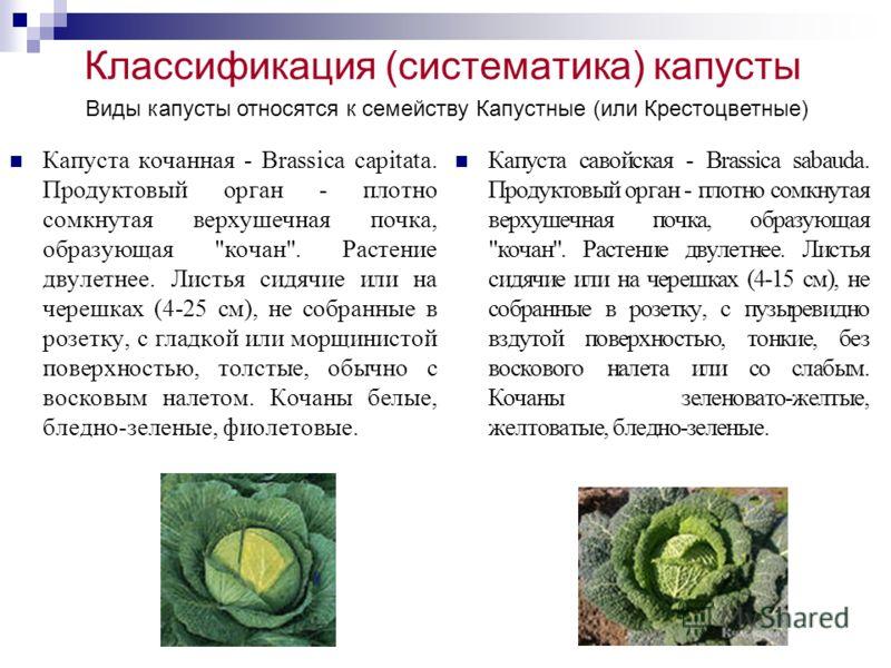 Классификация (систематика) капусты Капуста кочанная - Brassica capitata. Продуктовый орган - плотно сомкнутая верхушечная почка, образующая