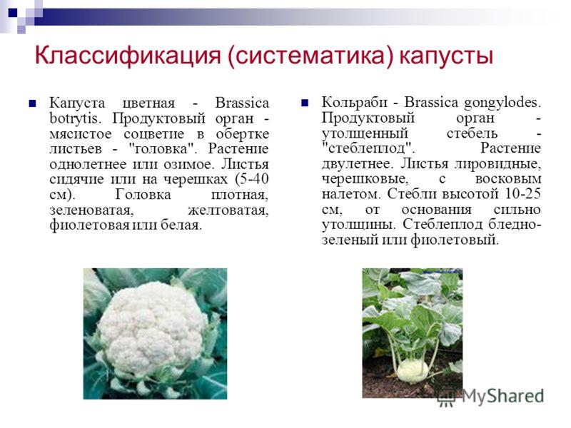 Классификация (систематика) капусты Капуста цветная - Brassica botrytis. Продуктовый орган - мясистое соцветие в обертке листьев -