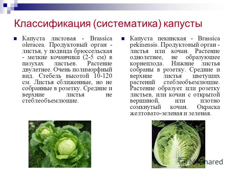 Классификация (систематика) капусты Капуста листовая - Brassica oleracea. Продуктовый орган - листья, у подвида брюссельская - мелкие кочанчики (2-5 см) в пазухах листьев. Растение двулетнее. Очень полиморфный вид. Стебель высотой 10-120 см. Листья с