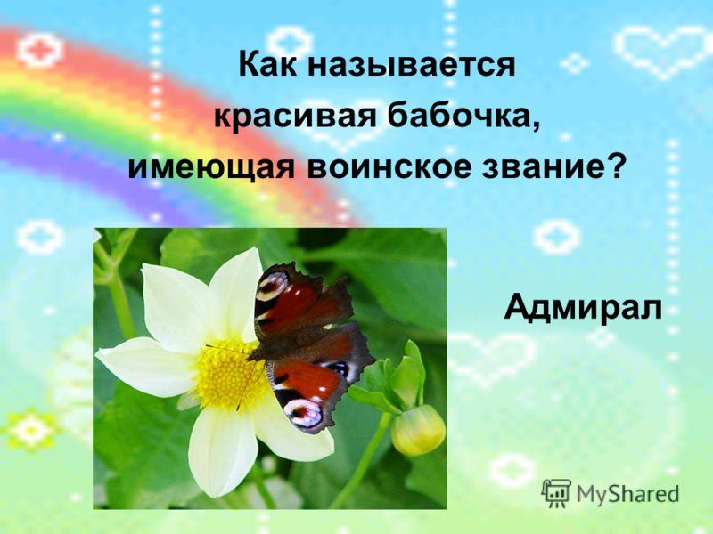 Как называется красивая бабочка, имеющая воинское звание? Адмирал