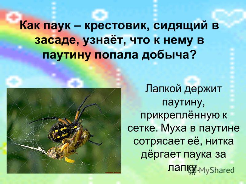 Как паук – крестовик, сидящий в засаде, узнаёт, что к нему в паутину попала добыча? Лапкой держит паутину, прикреплённую к сетке. Муха в паутине сотрясает её, нитка дёргает паука за лапку.