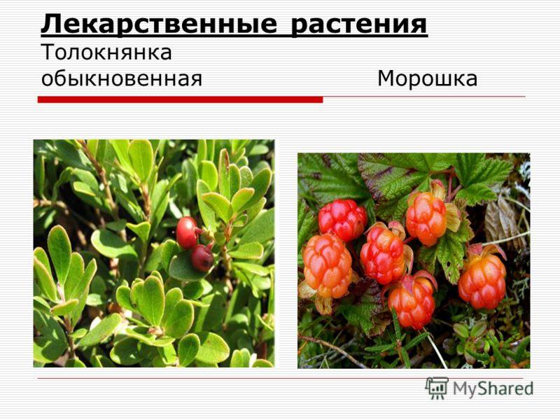Лекарственные растения Толокнянка обыкновеннаяМорошка