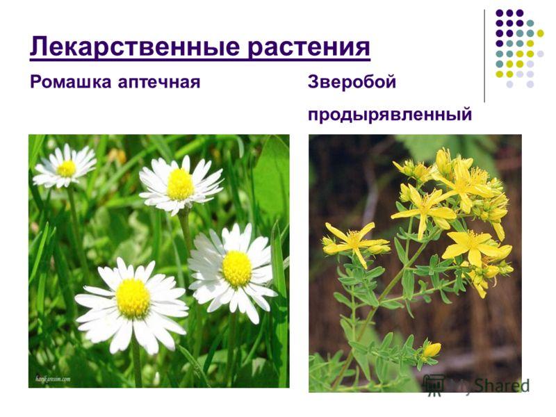 Лекарственные растения Ромашка аптечная Зверобой продырявленный