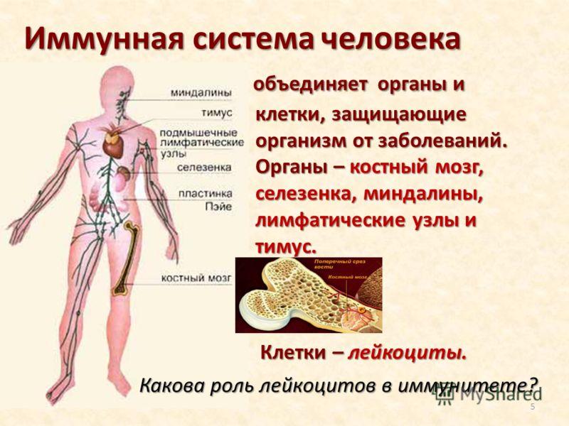 Иммунная система человека объединяет органы и объединяет органы и клетки, защищающие клетки, защищающие организм от заболеваний. организм от заболеваний. Органы – костный мозг, Органы – костный мозг, селезенка, миндалины, селезенка, миндалины, лимфат