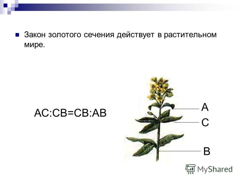 Закон золотого сечения действует в растительном мире. А В С АС:СB=СВ:АВ