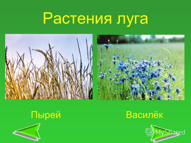 Растения луга ПырейВасилёк
