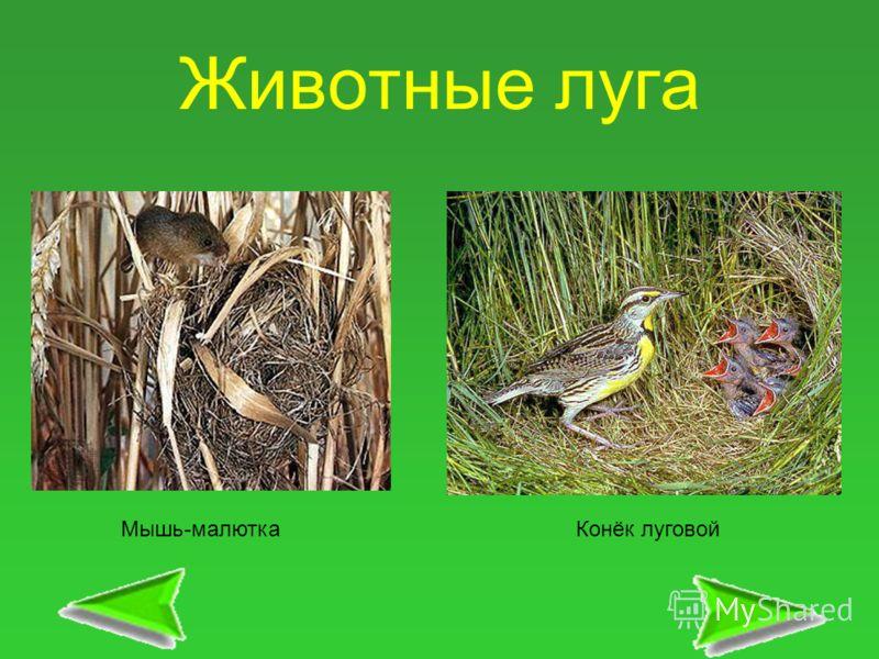 Животные луга Мышь-малюткаКонёк луговой