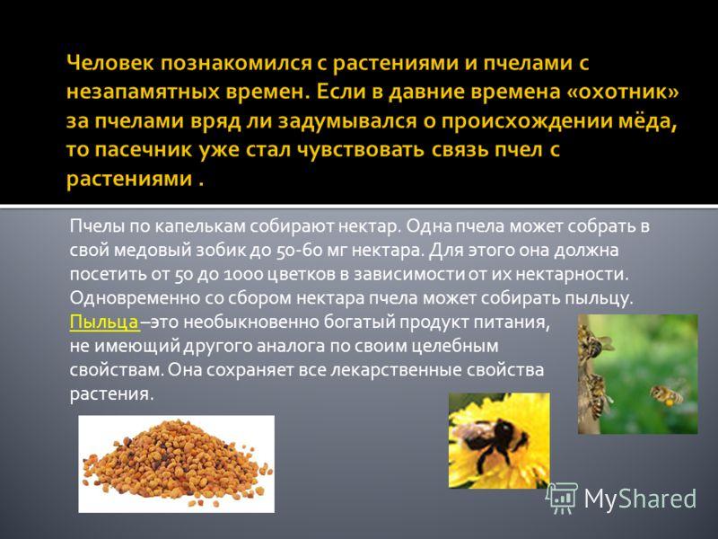 Пчелы по капелькам собирают нектар. Одна пчела может собрать в свой медовый зобик до 50-60 мг нектара. Для этого она должна посетить от 50 до 1000 цветков в зависимости от их нектарности. Одновременно со сбором нектара пчела может собирать пыльцу. Пы