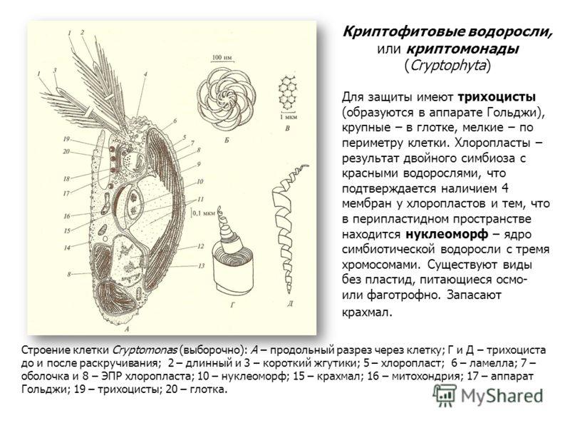 Криптофитовые водоросли, или криптомонады (Cryptophyta) Для защиты имеют трихоцисты (образуются в аппарате Гольджи), крупные – в глотке, мелкие – по периметру клетки. Хлоропласты – результат двойного симбиоза с красными водорослями, что подтверждаетс
