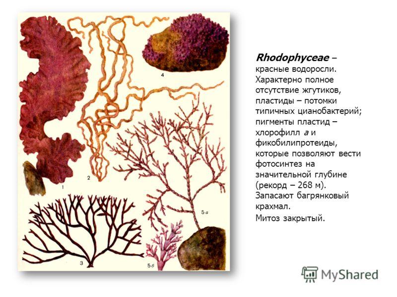 Rhodophyceae – красные водоросли. Характерно полное отсутствие жгутиков, пластиды – потомки типичных цианобактерий; пигменты пластид – хлорофилл а и фикобилипротеиды, которые позволяют вести фотосинтез на значительной глубине (рекорд – 268 м). Запаса