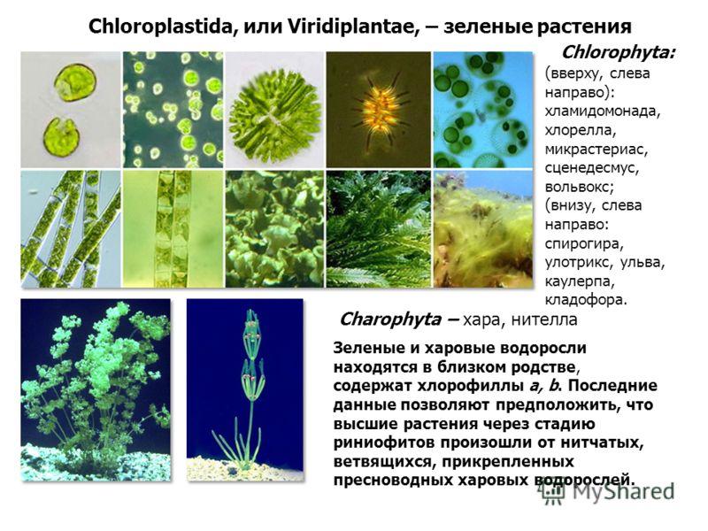 Chloroplastida, или Viridiplantae, – зеленые растения Chlorophyta: Charophyta – хара, нителла (вверху, слева направо): хламидомонада, хлорелла, микрастериас, сценедесмус, вольвокс; (внизу, слева направо: спирогира, улотрикс, ульва, каулерпа, кладофор