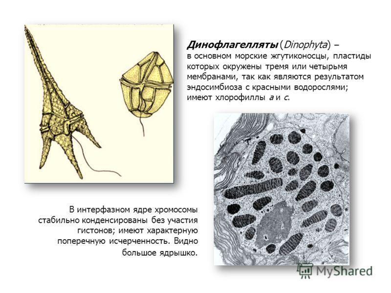 Динофлагелляты (Dinophyta) – в основном морские жгутиконосцы, пластиды которых окружены тремя или четырьмя мембранами, так как являются результатом эндосимбиоза с красными водорослями; имеют хлорофиллы а и с. В интерфазном ядре хромосомы стабильно ко