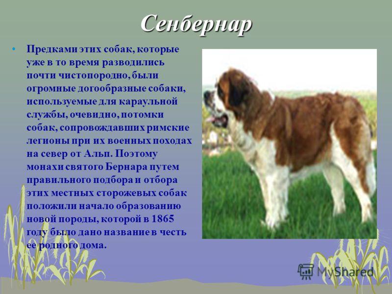 Сенбернар Предками этих собак, которые уже в то время разводились почти чистопородно, были огромные догообразные собаки, используемые для караульной службы, очевидно, потомки собак, сопровождавших римские легионы при их военных походах на север от Ал