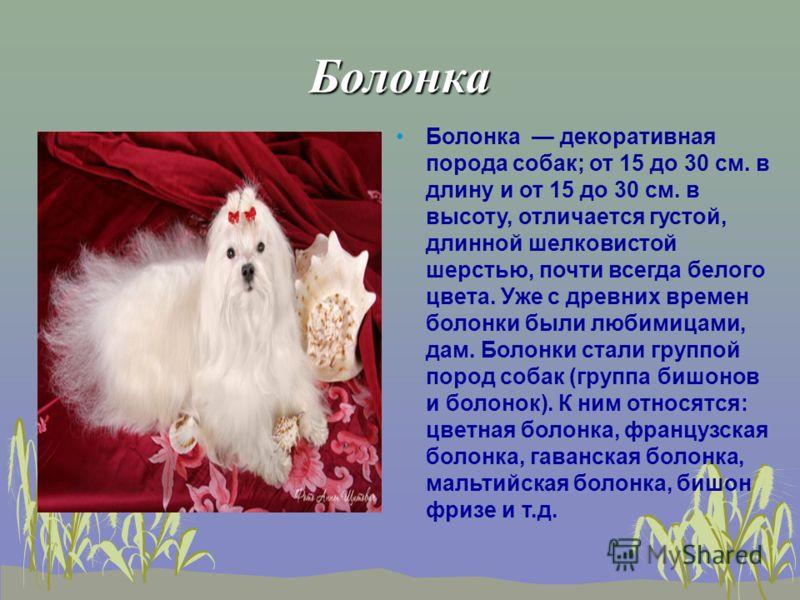 Болонка Болонка декоративная порода собак; от 15 до 30 см. в длину и от 15 до 30 см. в высоту, отличается густой, длинной шелковистой шерстью, почти всегда белого цвета. Уже с древних времен болонки были любимицами, дам. Болонки стали группой пород с