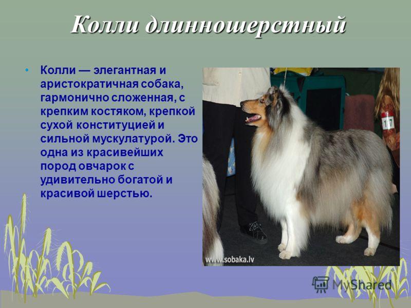 Колли длинношерстный Колли длинношерстный Колли элегантная и аристократичная собака, гармонично сложенная, с крепким костяком, крепкой сухой конституцией и сильной мускулатурой. Это одна из красивейших пород овчарок с удивительно богатой и красивой ш