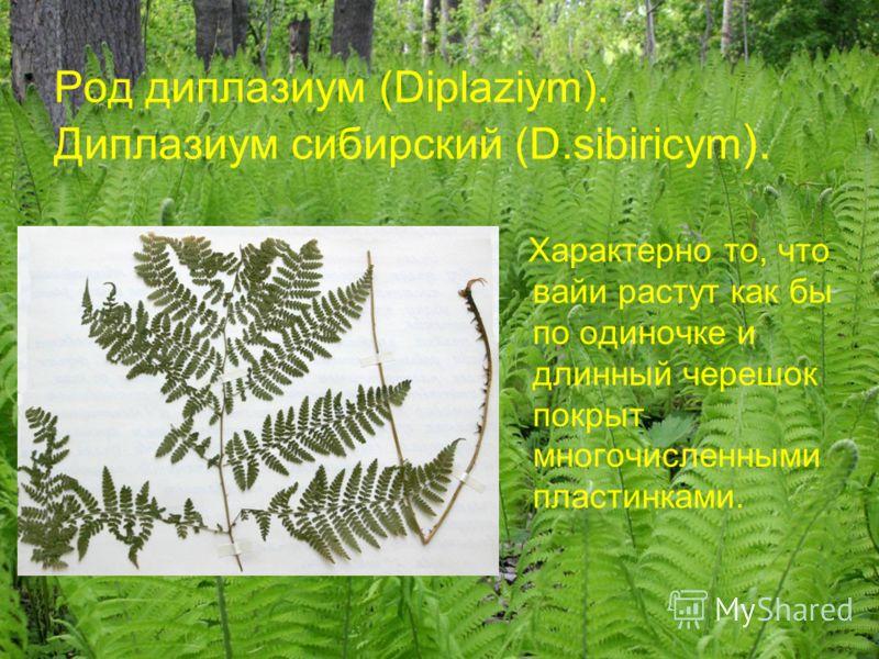 Род диплазиум (Diplaziym). Диплазиум сибирский (D.sibiricym ). Характерно то, что вайи растут как бы по одиночке и длинный черешок покрыт многочисленными пластинками.