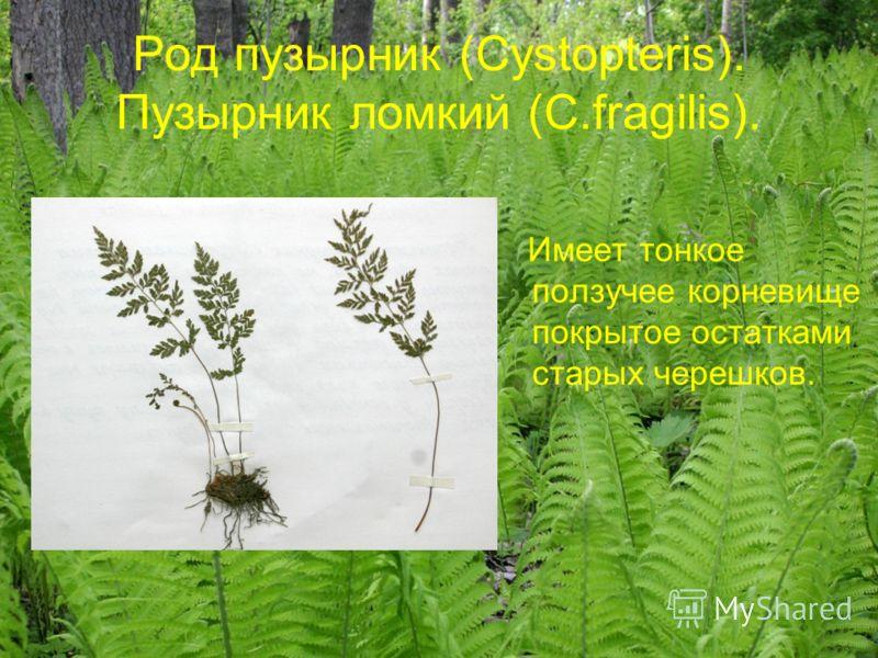Род пузырник (Cystopteris). Пузырник ломкий (C.fragilis). Имеет тонкое ползучее корневище покрытое остатками старых черешков.