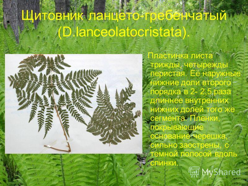 Щитовник ланцето-гребенчатый (D.lanceolatocristata). Пластинка листа трижды, четырежды перистая. Её наружные нижние доли второго порядка в 2- 2,5 раза длиннее внутренних нижних долей того же сегмента. Пленки, покрывающие основание черешка, сильно зао