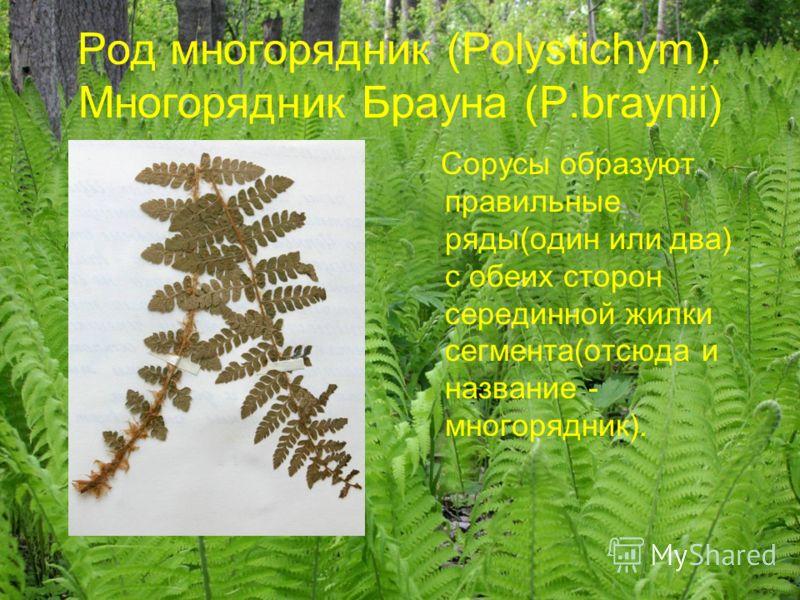 Род многорядник (Polystichym). Многорядник Брауна (P.braynii) Сорусы образуют правильные ряды(один или два) с обеих сторон серединной жилки сегмента(отсюда и название - многорядник).