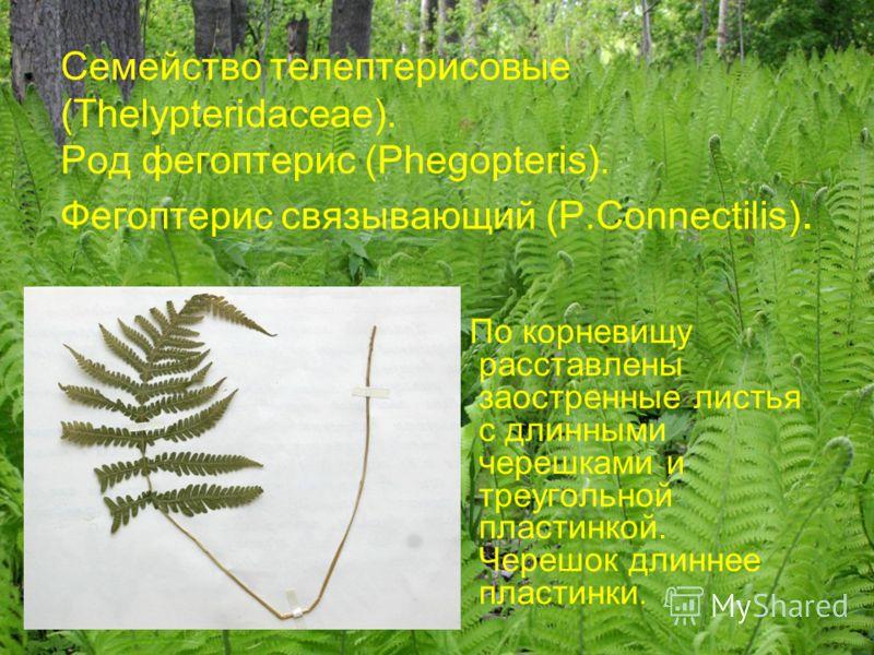 Семейство телептерисовые (Thelypteridaceae). Род фегоптерис (Phegopteris). Фегоптерис связывающий (P.Connectilis). По корневищу расставлены заостренные листья с длинными черешками и треугольной пластинкой. Черешок длиннее пластинки.