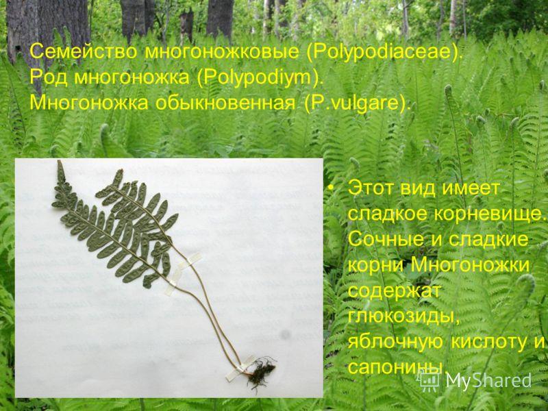 Семейство многоножковые (Polypodiaceae). Род многоножка (Polypodiym). Многоножка обыкновенная (P.vulgare). Этот вид имеет сладкое корневище. Сочные и сладкие корни Многоножки содержат глюкозиды, яблочную кислоту и сапонины.