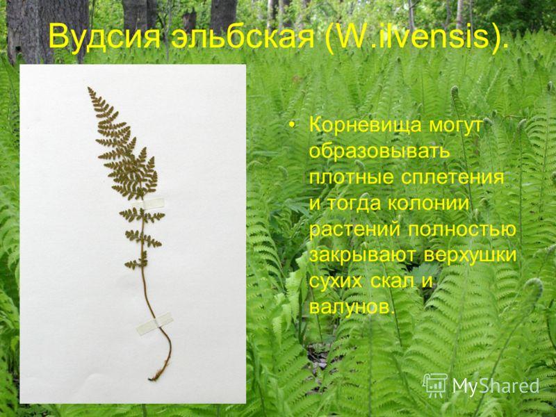Вудсия эльбская (W.ilvensis). Корневища могут образовывать плотные сплетения и тогда колонии растений полностью закрывают верхушки сухих скал и валунов.